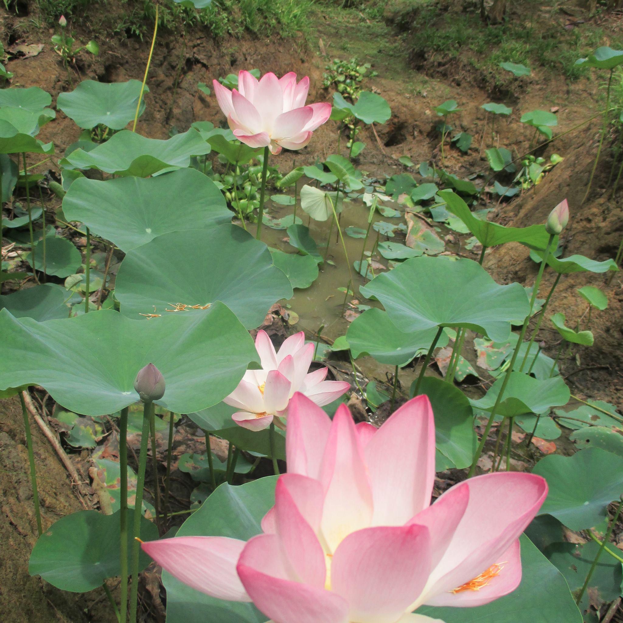 punta-mona-lotus.jpg