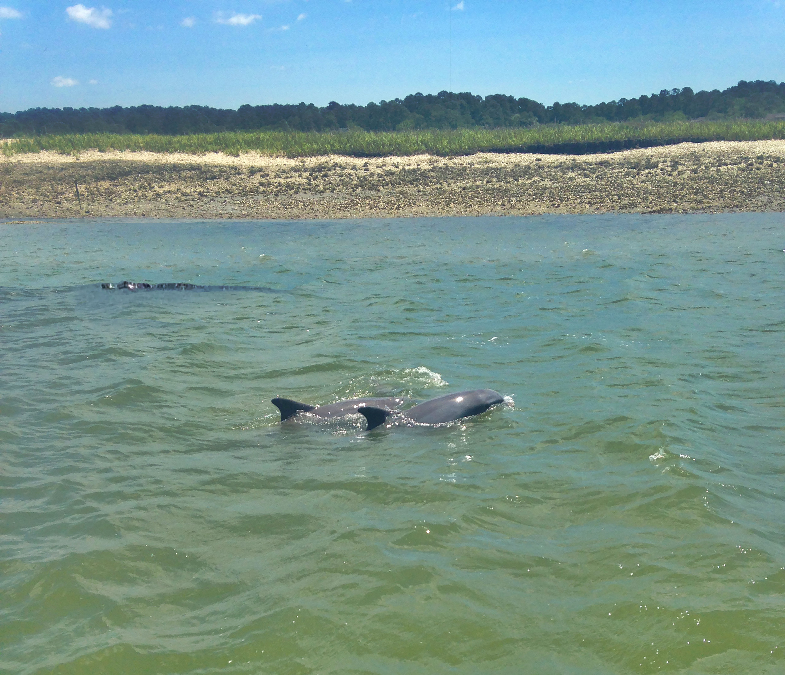 Alligator swimming with Dolphins