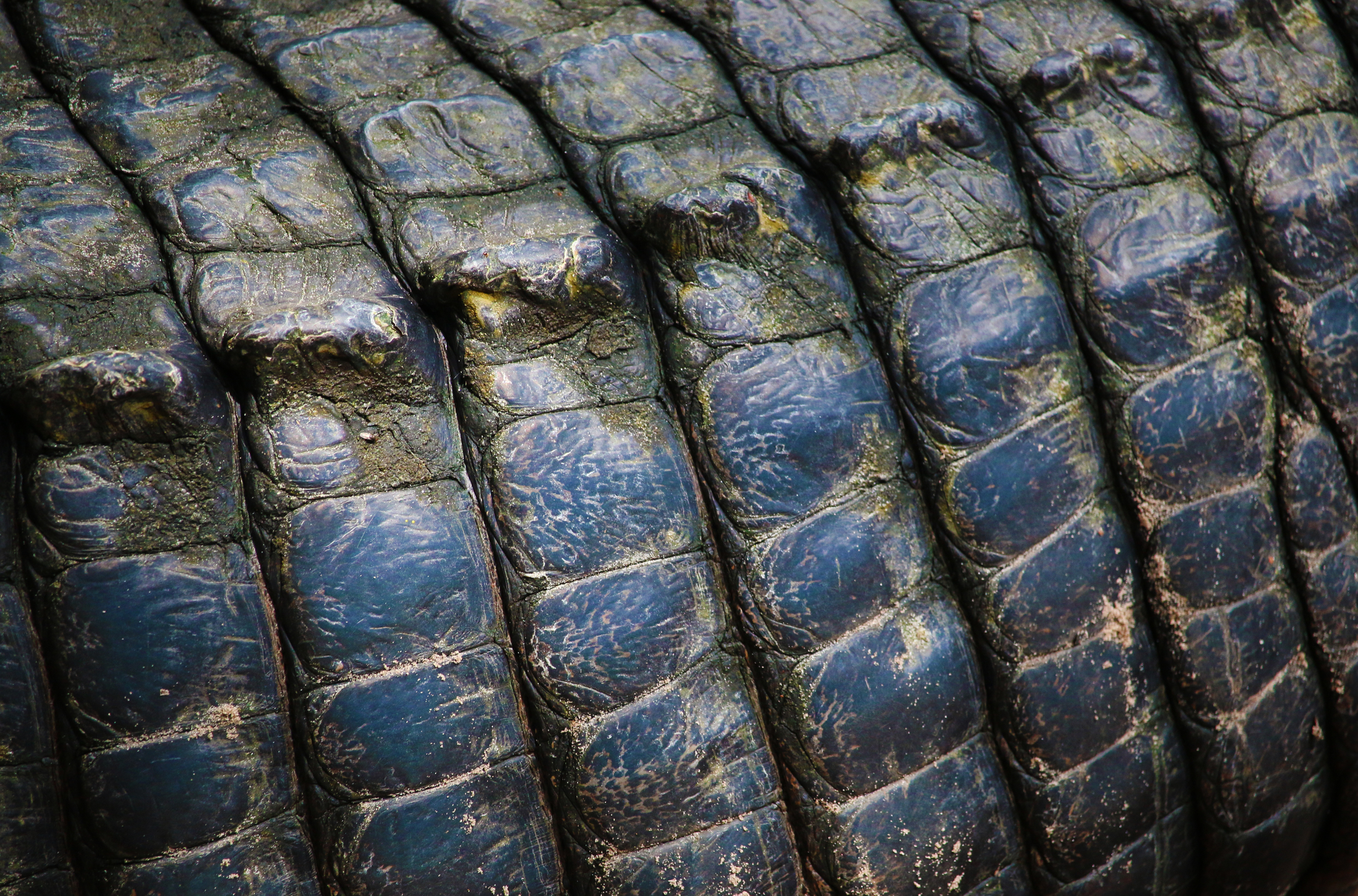 Close up of Alligator Scales