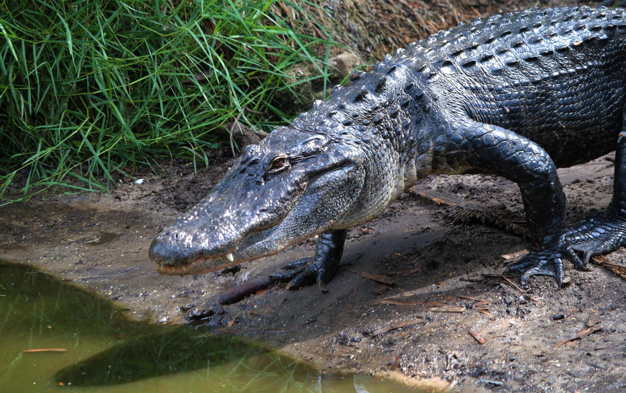 Alligator walking into the Marsh
