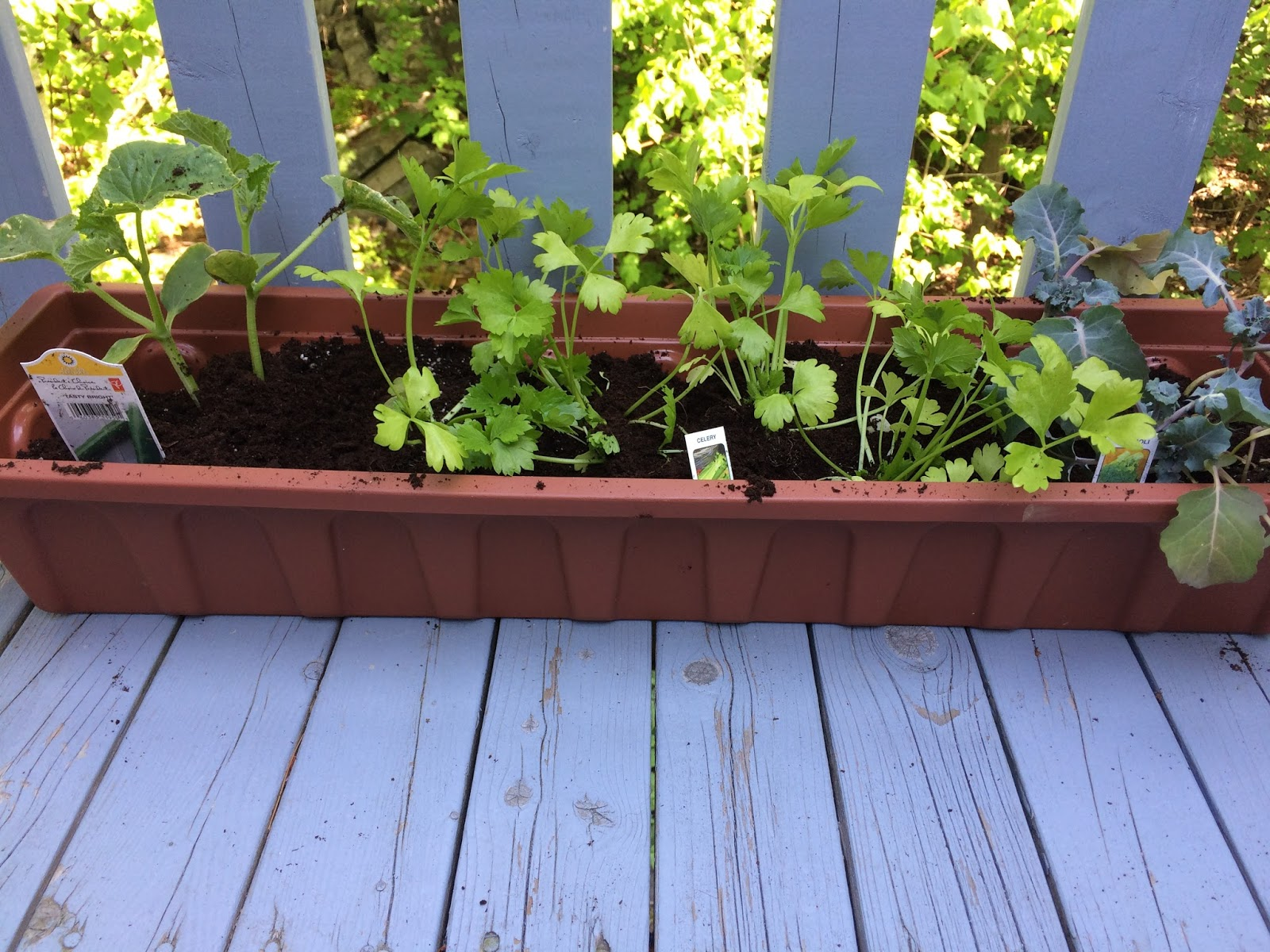 """Our """"green"""" garden with celery, broccoli, and cucumber"""