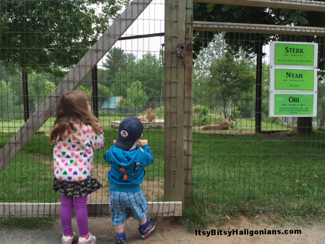 The lions at Oaklawn Farm Zoo