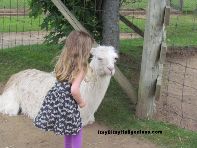 Getting up close and personal with the friendly llamas