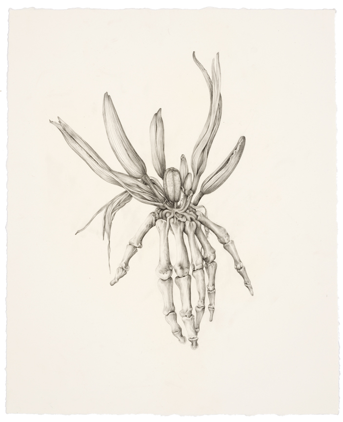 """""""Untitled (Skeleton Lily)"""" pencil, colored pencil on paper, 17"""" x 13.75"""", 2014"""