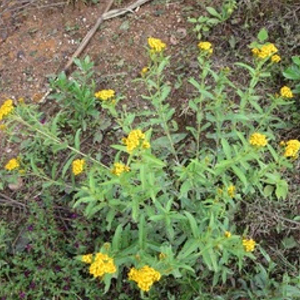 natural dyes yellow.jpg