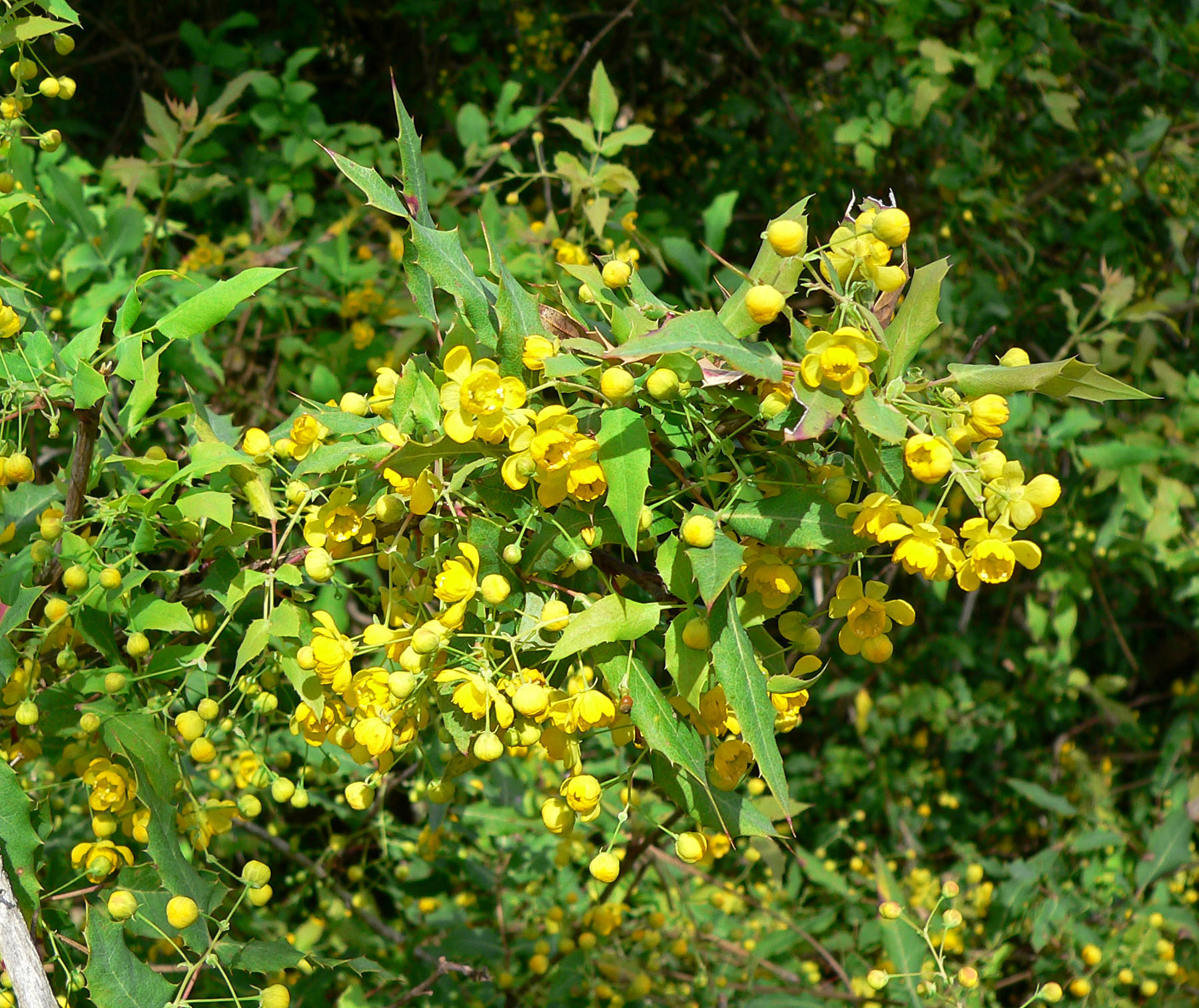 Nevin's barberry