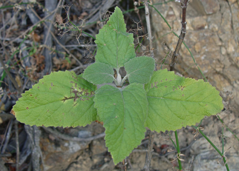 Heart-leaved pitcher sage