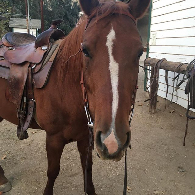 """Lucy all ready for her first ride with me. She was practically perfect! ❤️❤️ With that said, I cannot really consider her a """"green"""" horse. Just needs more practice and for us to get to know each other. #urbanpony#aqha#arroyosecobarn#highlandparklosangeles #quarterhorse #westernsaddle#urbancowgirl"""
