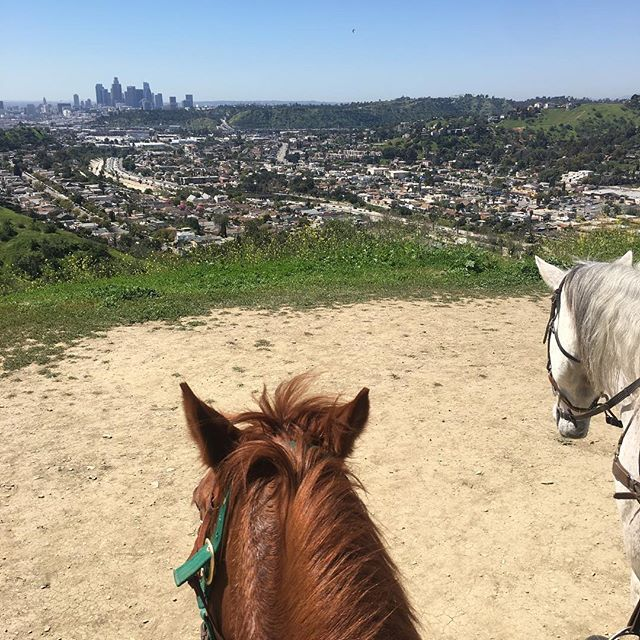 My quarter horse Lucy checking out the view after powering up the trail. She is such a quick learner! We enjoyed  the masses of lupines on the hills. The fragrance from the sages was delightful. #urbanpony#urbanequestrian #urbancowgirl #debspark #happeningindtla #highlandpark #horsetraining #aqha