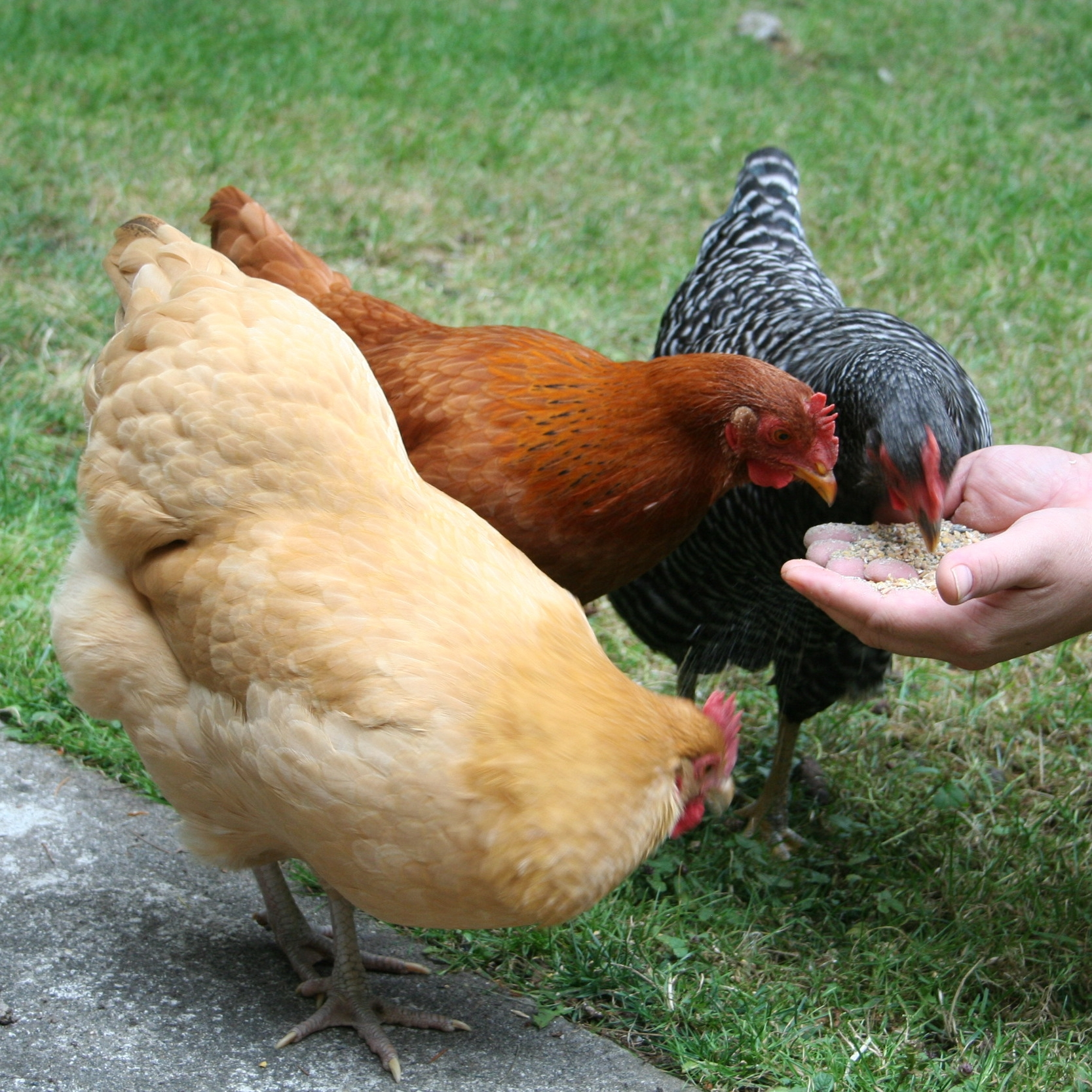 the-chickens-and-ian_4984761042_o.jpg