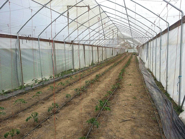 Newly planted tomatoes in the new greenhouse.