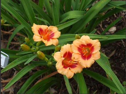 3 pink lilies with darker red center and yellow-green eyes