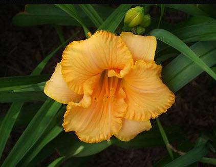 Darker orange center with ruffled edges