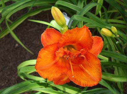 Darker orange center band with small green eye