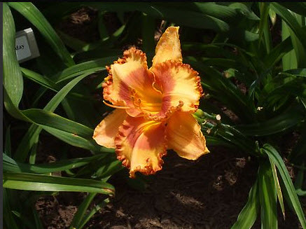 Ruffled edge and center of rusty red with bright orange stamens