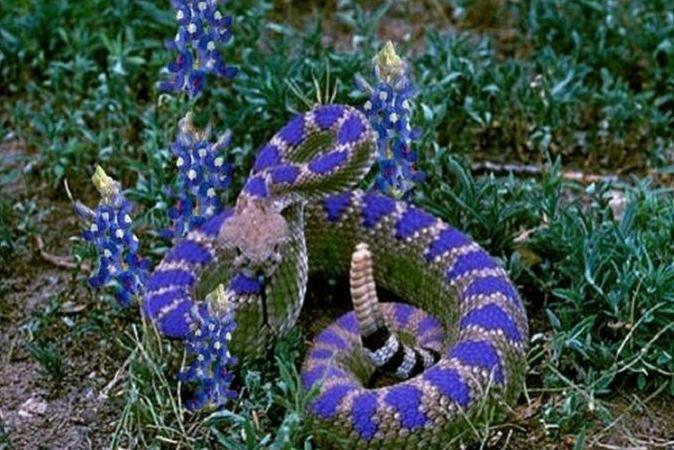 Texas Bluebonnet Rattlesnake
