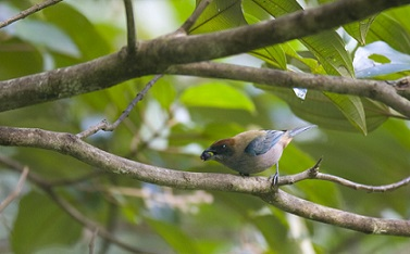 Lesser Antillean Tanager (photo compliments Ministry of Tourism of St.Vincent and the Grenadines )