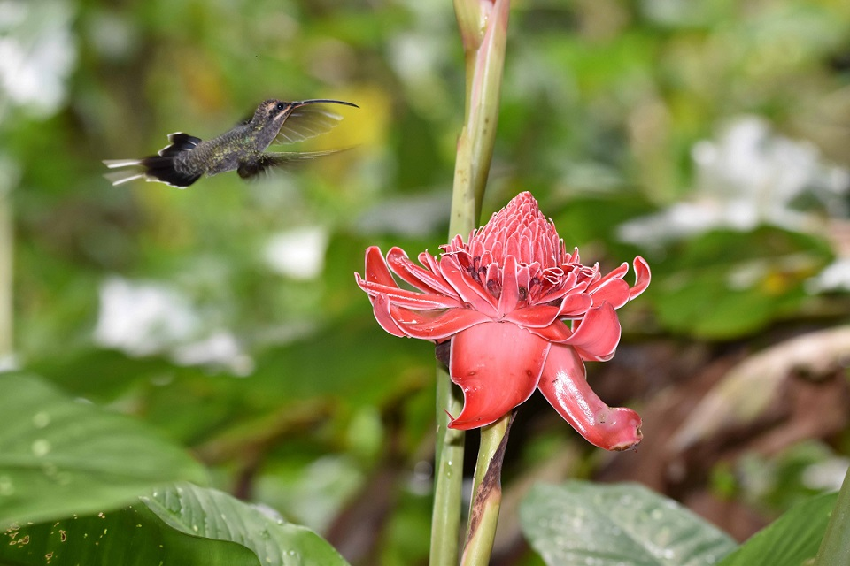 Hummingbirds are found on all of the islands. Some, like this Green Hermit, provided John with terrific photo opportunities.