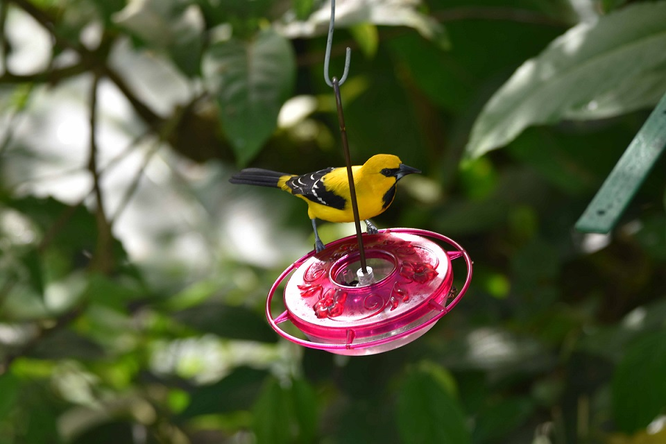 Yellow Orioles frequent the feeders during the day...