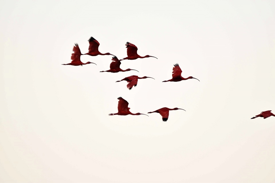 Scarlet Ibis flying over our head on their way to their roosts for the evening (photo by Birding the Islands client: John Dyson)