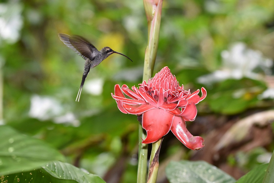 This was a favourite feeding flower for this Green Hermit (photo by Birding the Islands client: John Dyson)