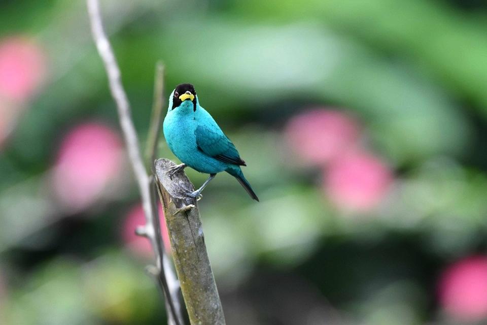 A stunning bird - Green Honeycreeper