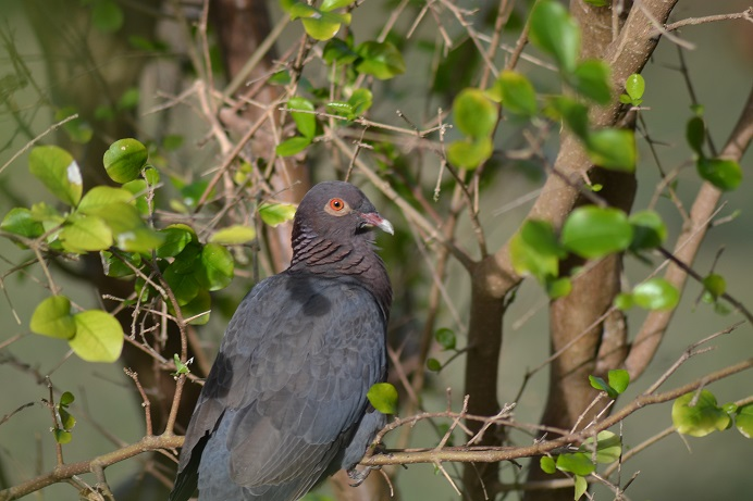 Young Scaly-naped Pigeon at Graeme Hall Nature Reserve (photo by Ryan Chenery)
