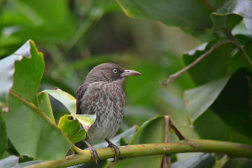 Keeping a watchful eye out for any feeding opportunities – the Pearly-eyed Thrasher (Photo: Ryan Chenery)