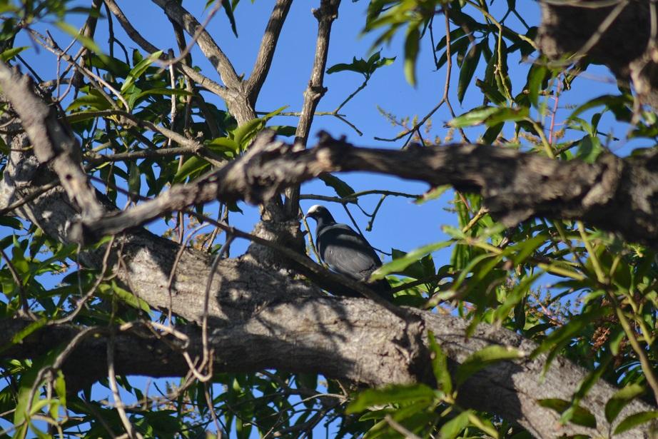 White-crowned Pigeon peering down on us (Photo: Ryan Chenery)