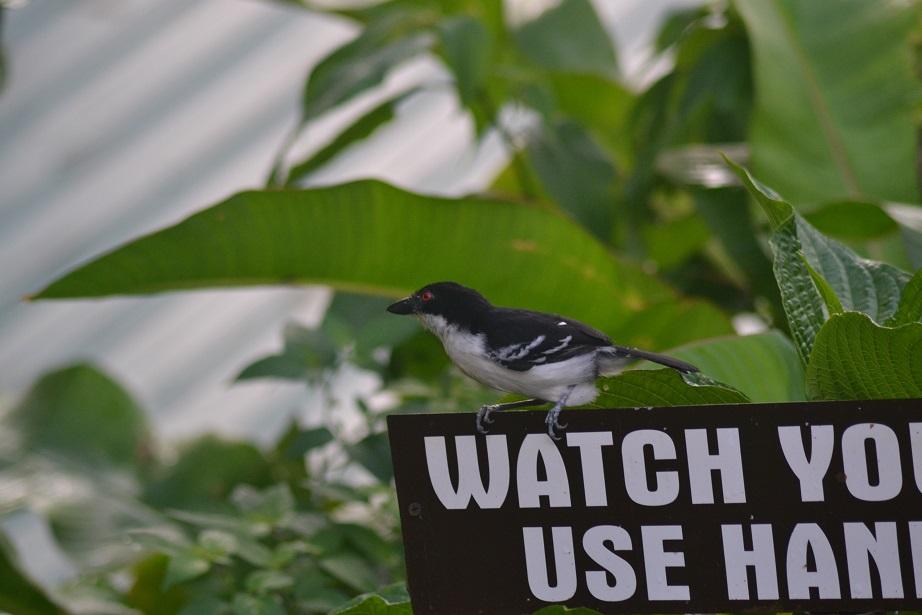 Who's watching who?...Great Antshrike (Photo: Ryan Chenery)