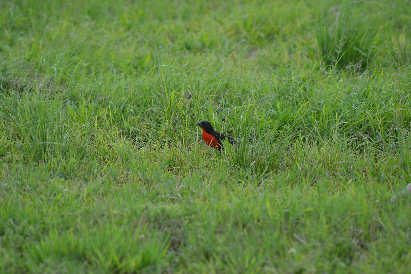 Brilliant Red-breasted Blackbird spotted on our way to Caroni (photo: Ryan Chenery)