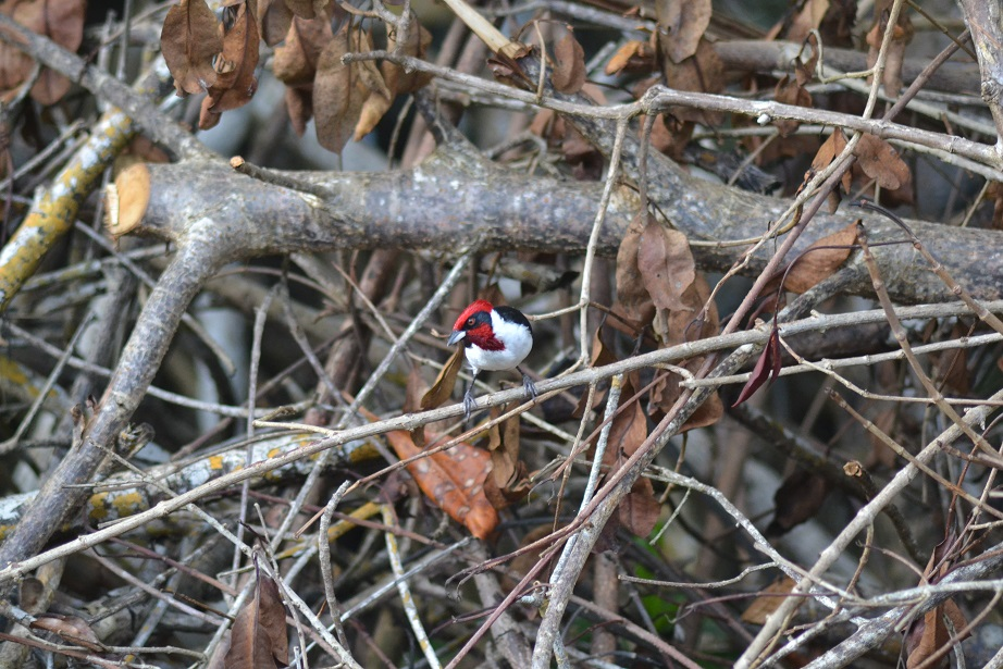 Masked Cardinal at the entrance to Caroni Swamp (photo: Ryan Chenery)