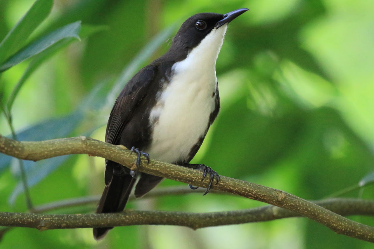 We'll enjoy stunning views of the many wonderful endemics and near endemics of the Lesser Antilles - such as the endangered White-breasted Thrasher (photo by Birding the Islands co-leader Keith Clarkson)
