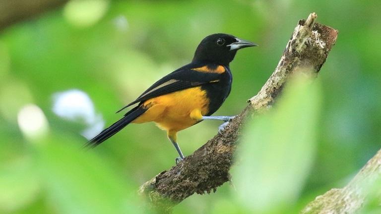 The splendid St.Lucia Oriole (photo© Birding the Islands co-leader Keith Clarkson)
