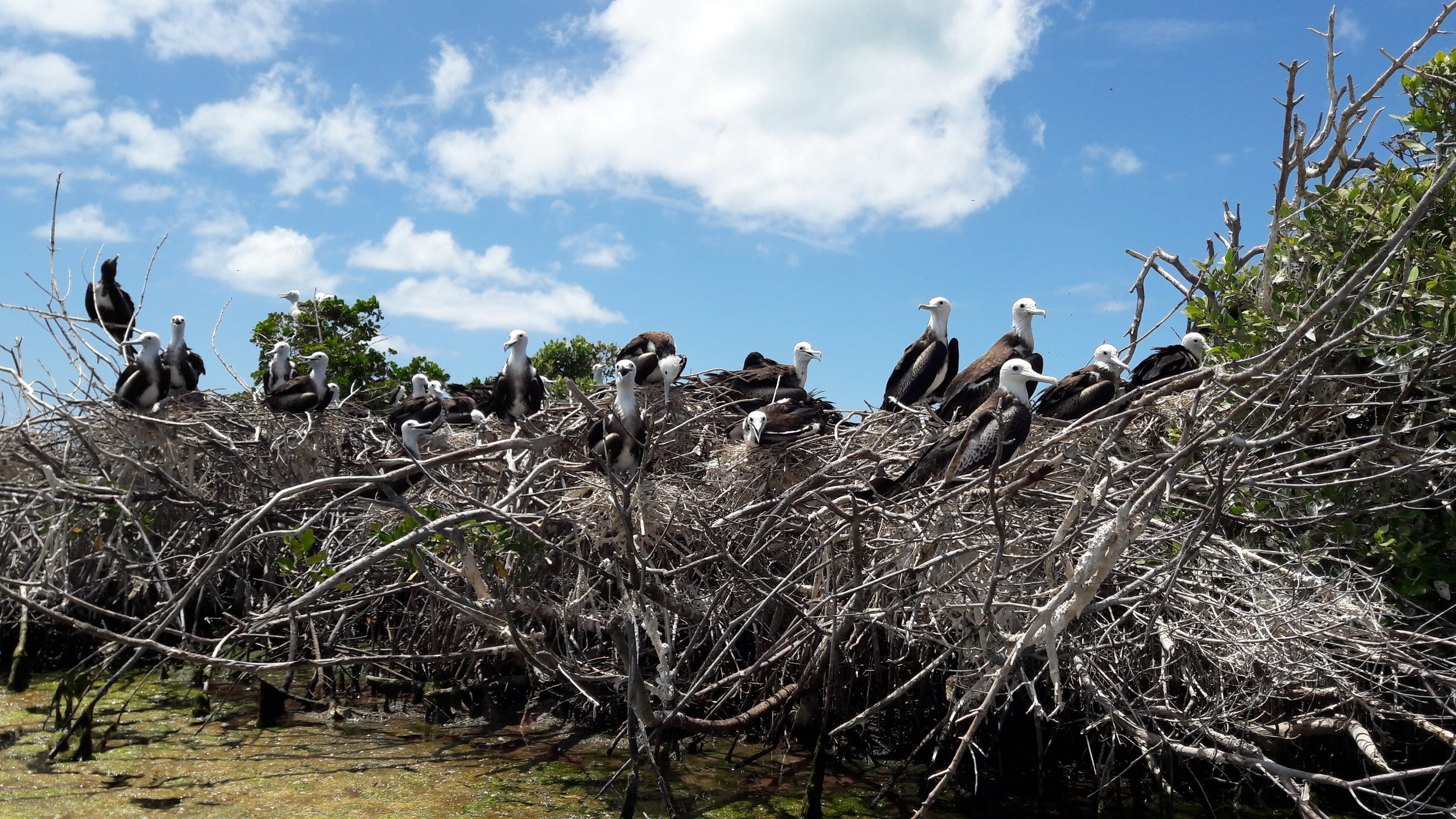 Magnificent Frigatebird colony in Barbuda