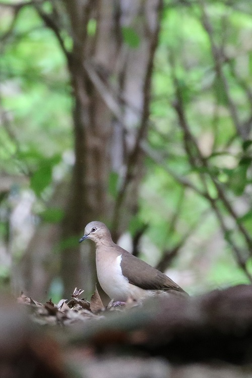Emerging from behind a fallen log, the Grenada Dove ( photo©  Birding the Islands client Béatrice Henricot)