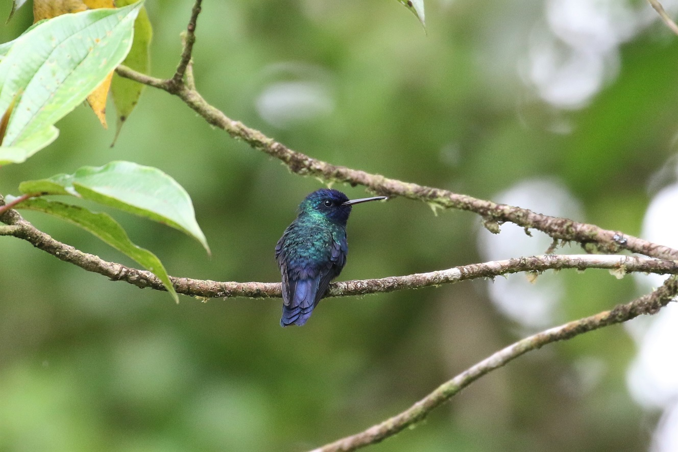 The near endemic Blue-headed Hummingbird is only found at high elevations on Martinique and Dominica (photo© Birding the Islands client Béatrice Henricot)
