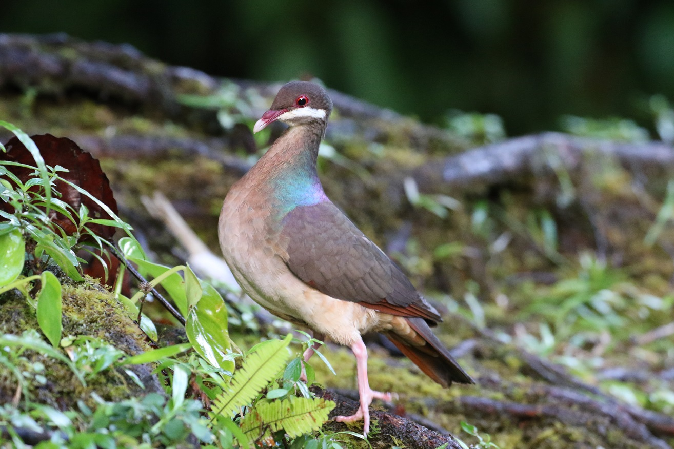 We get incredibly close to secretive forest dwellers like this Bridled Quail Dove (photo© Birding the Islands client Béatrice Henricot)