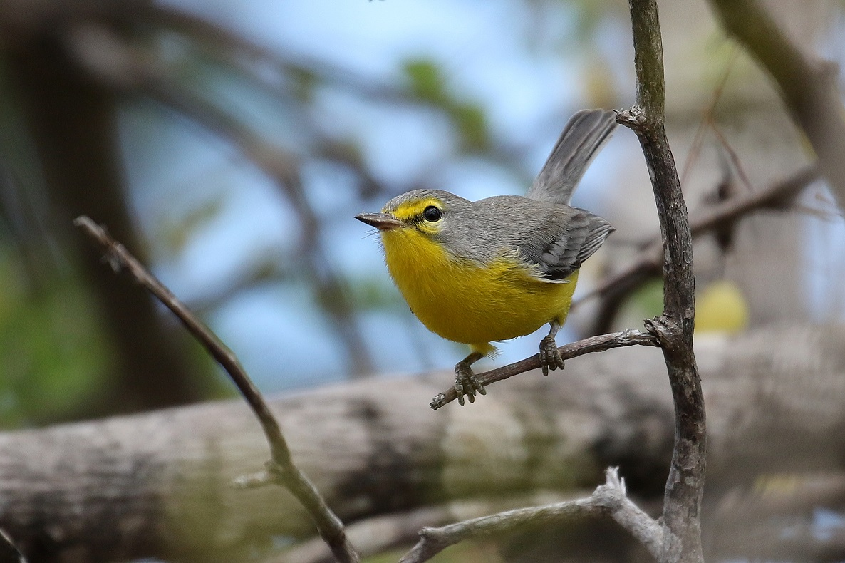 The always entertaining Barbuda Warbler (photo© Birding the Islands client Béatrice Henricot)