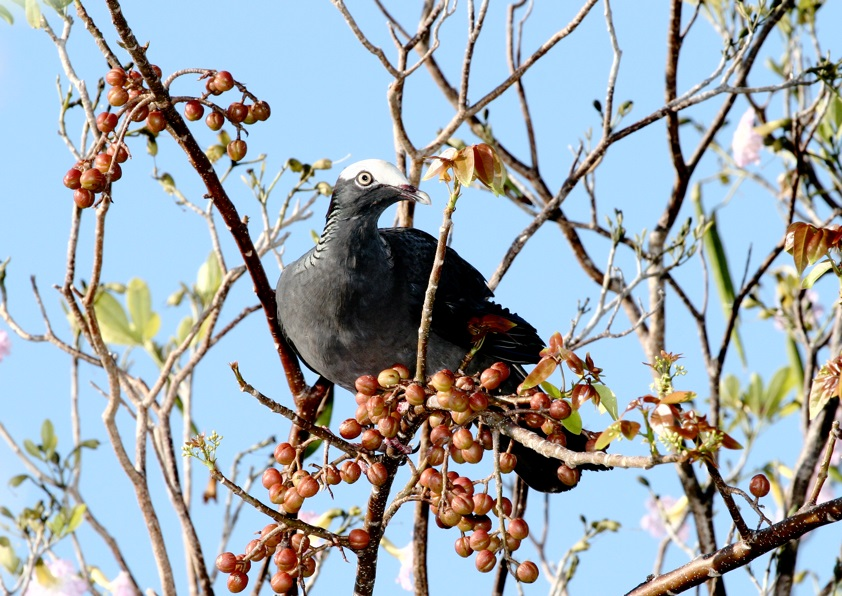 Feeding White-crowned Night Pigeon (photo© Birding the Islands client Yves-Jacques Rey-Millet)