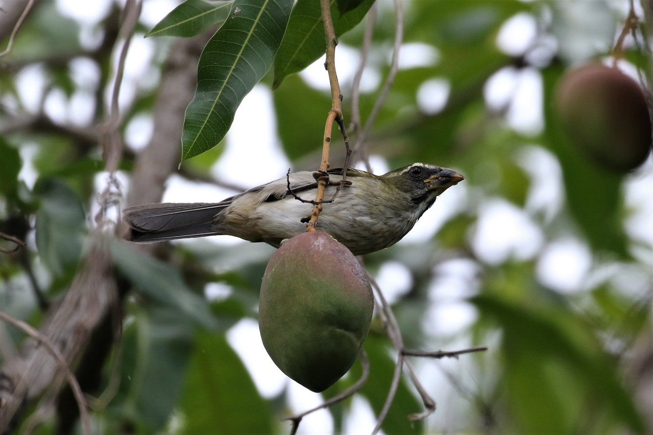 Lesser Antillean Saltator feasting on a mango (photo© Birding the Islands client Béatrice Henricot)