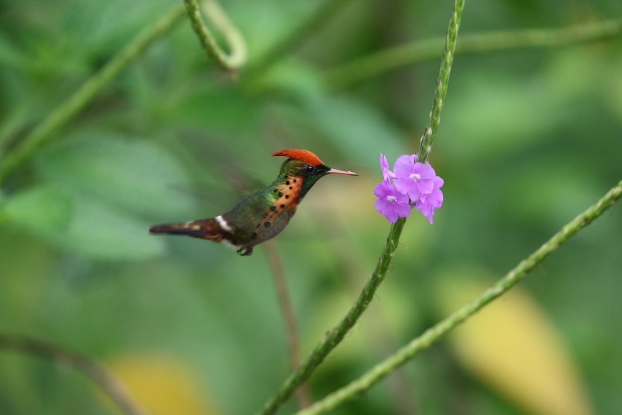 The spectacular Tufted Coquette   (photo© Birding the Islands client Béatrice Henricot)