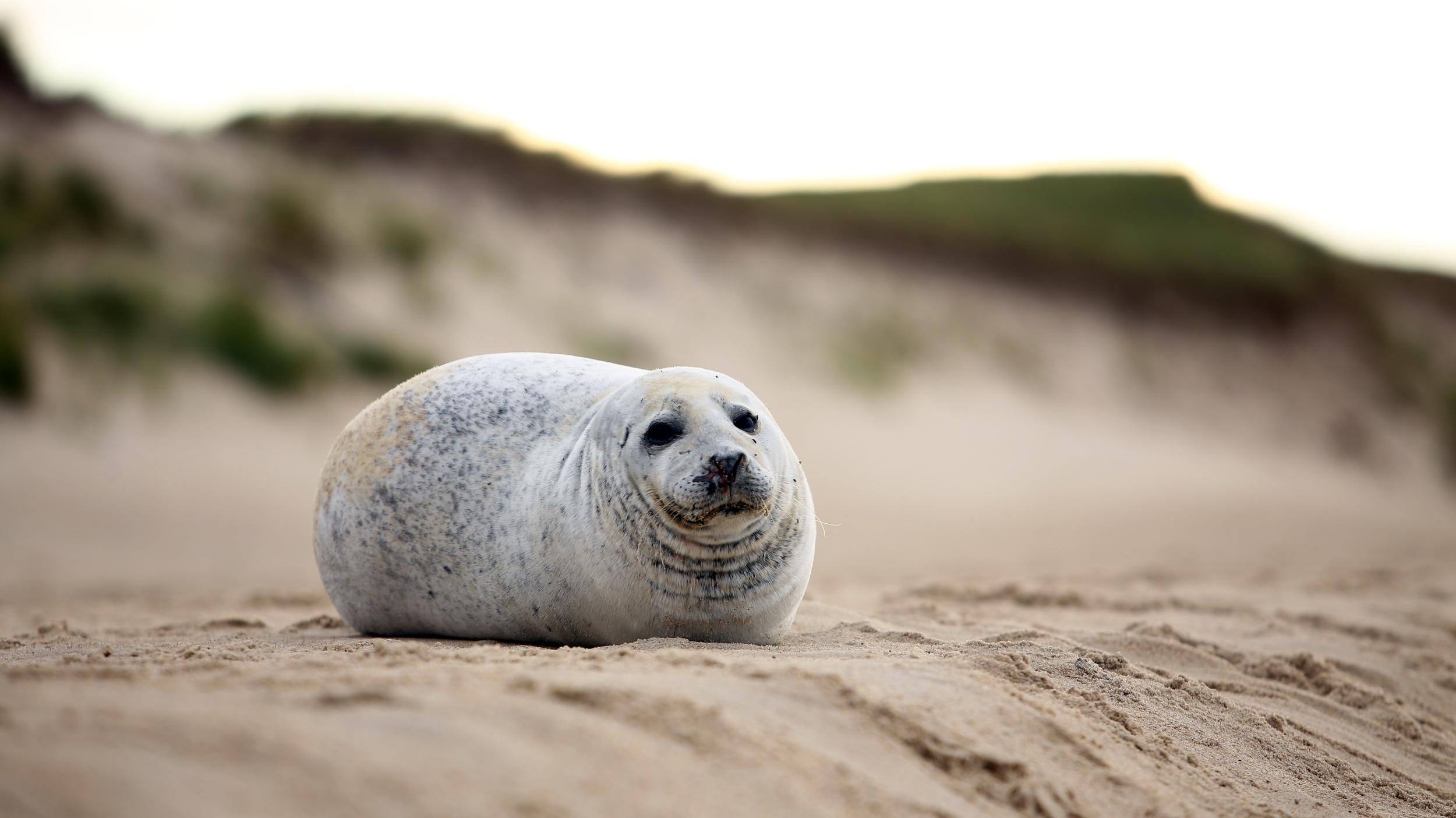 Sable Seal.jpg
