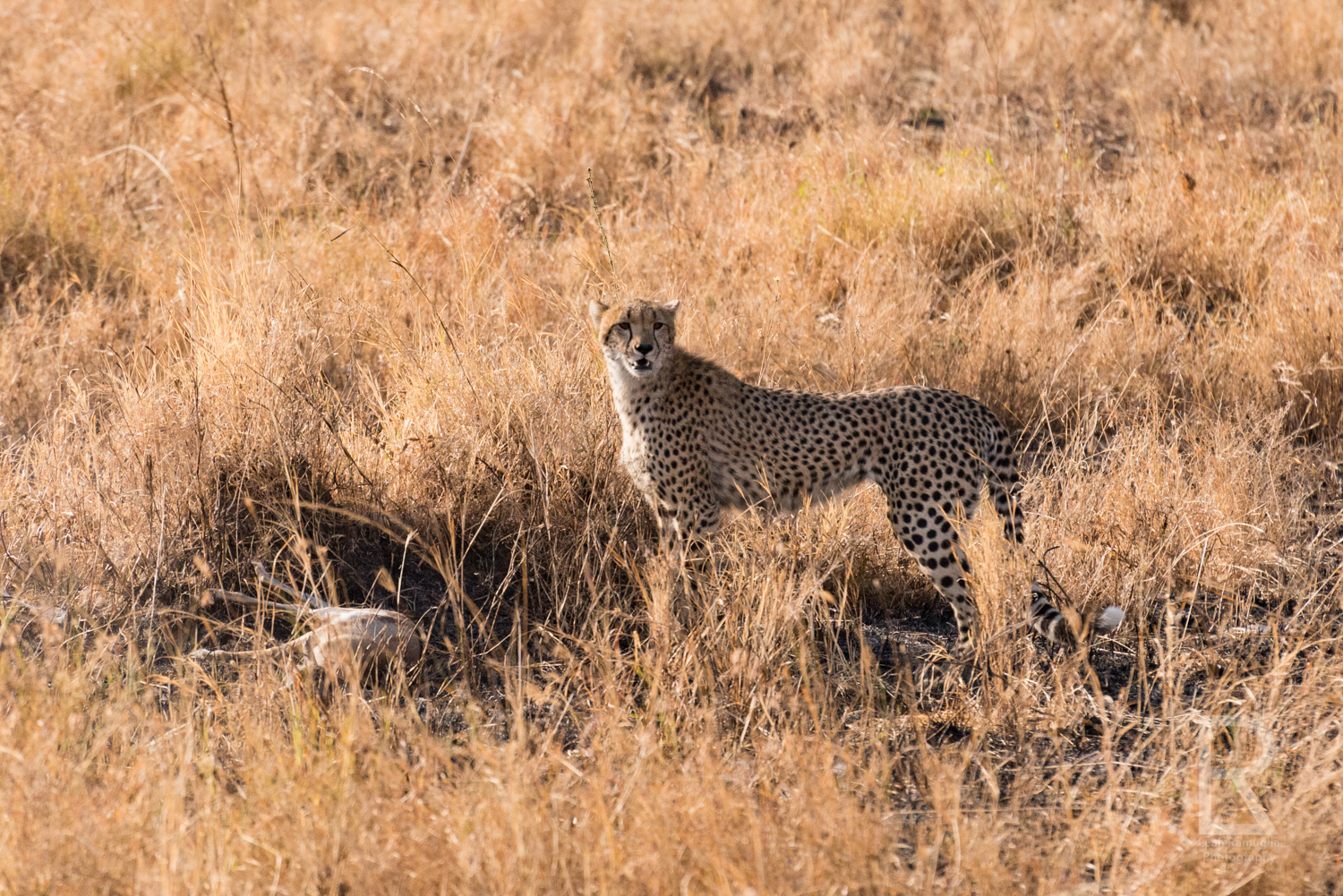 - I stood in the jeep and photographed what seemed like the slowest death ever. Watching in amazement at a cheetah cub learn to hunt, while also witnessing a young gazelle's long fought battle for life, if not just for a few more moments.