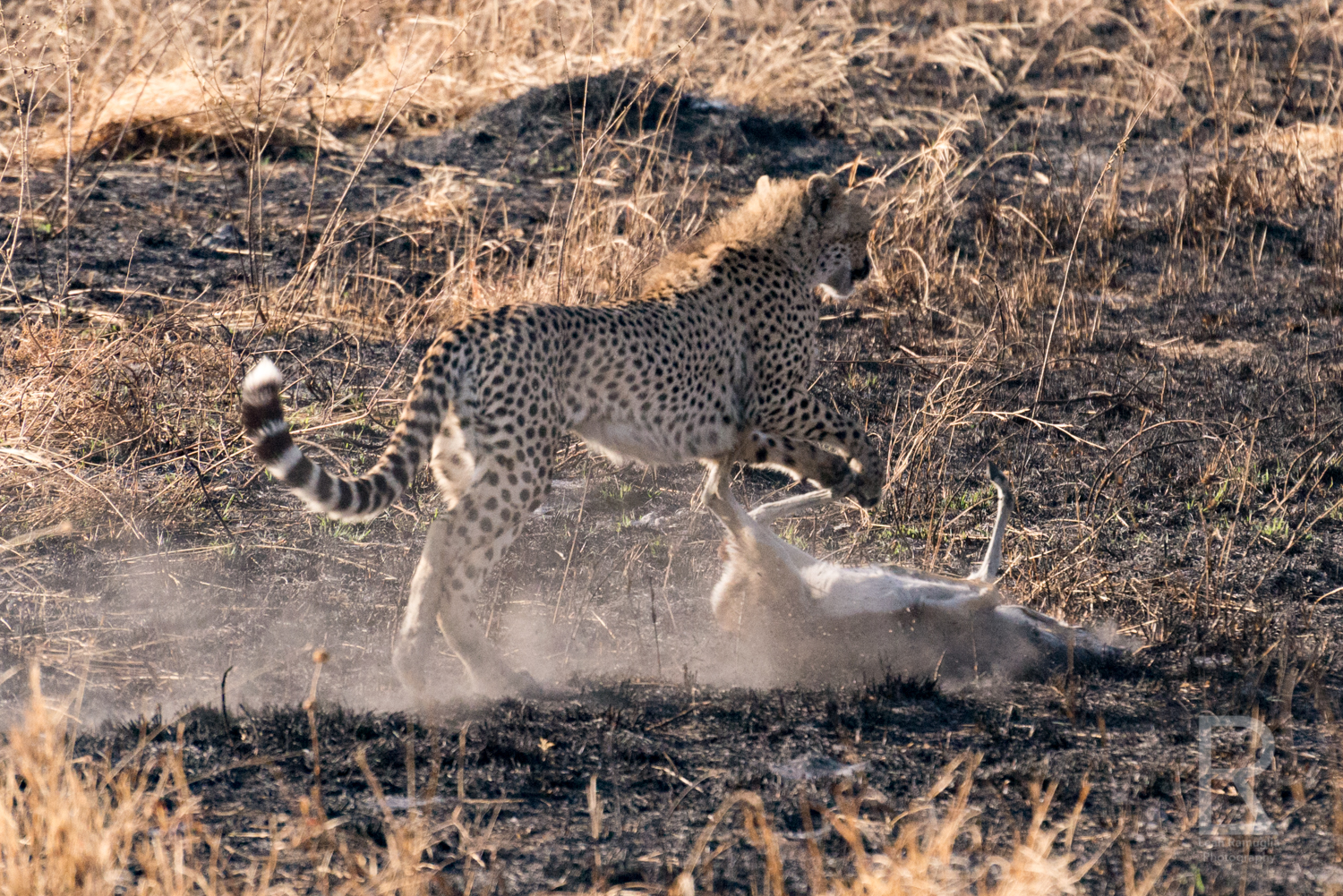 - I wouldn't have believed this if I didn't witness it with my own eyes. It was early morning in the Serengeti and a heard of Thomson's Gazelle ran suddenly - they were being hunted. Then, one was caught, a baby gazelle.