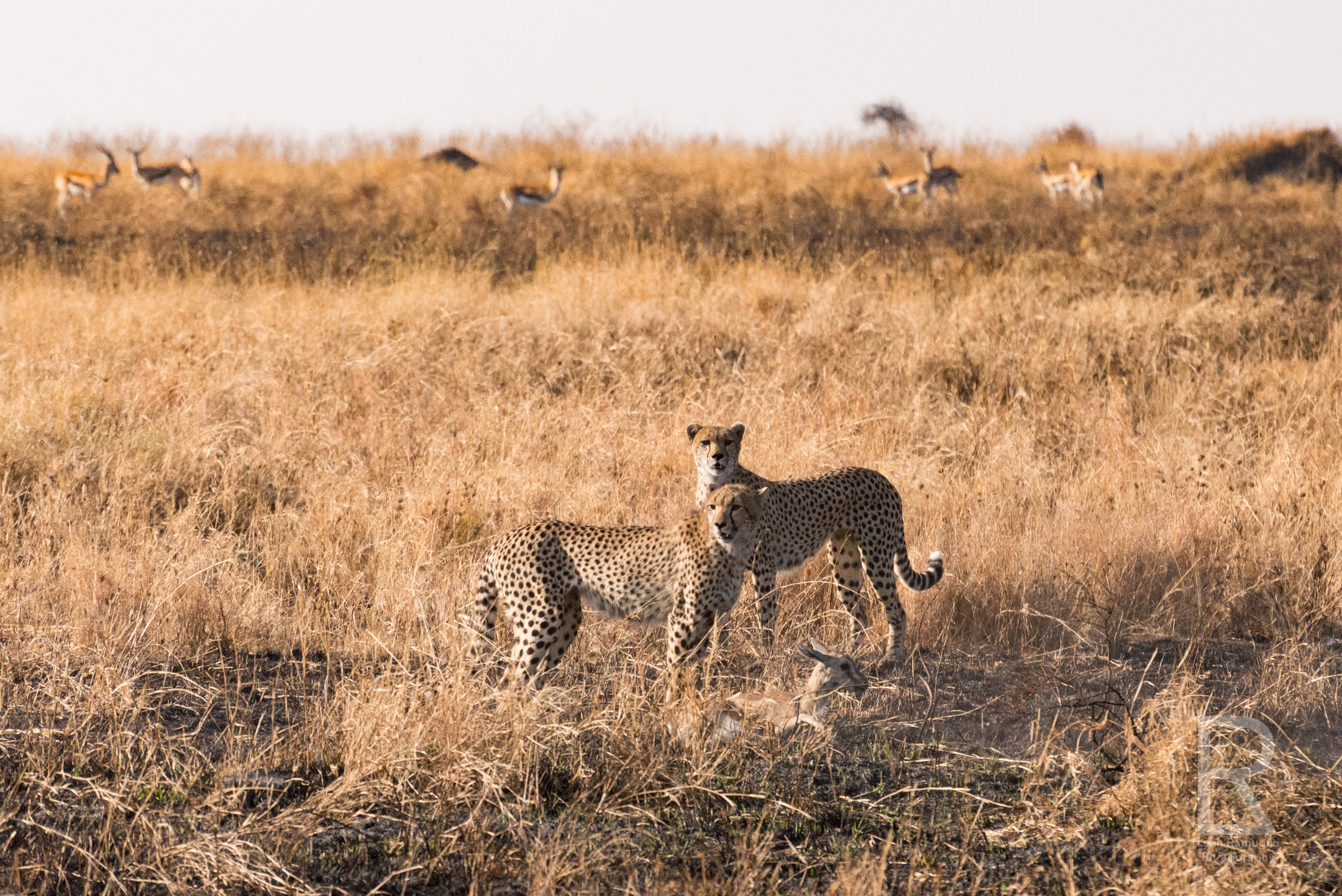- Our Tanzanian guide watched closely and began taking photos of his own. This wasn't a normal hunt he explained, because there were two cheetahs, and cheetahs are solitary cats. He pointed out that the gazelle had been caught, but the cheetah didn't kill it yet. The mother was teaching her cub how to hunt.