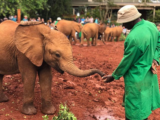 A keeper feeds an orphaned baby elephant at the Sheldrick Wildlife Trust in Nairobi, Kenya. These elephants were rescued, are cared for, and then will be released back into the wild.  #sheldrickwildlifetrust #sheldricktrust #elephantorphanage #orphanedelephants #stoppoaching #savetheelephants #babyelephants #feedme #elephantkeeper #kenya #kenya🇰🇪 #nairobi #nairobikenya #visitafrica #visitkenya #visitnairobi