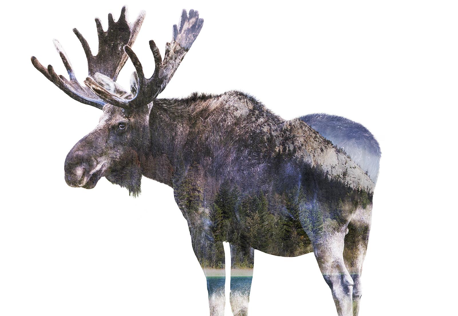 fauna moose.jpg