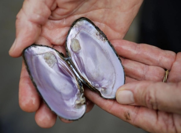 Mysterious mussel die-off baffles experts -