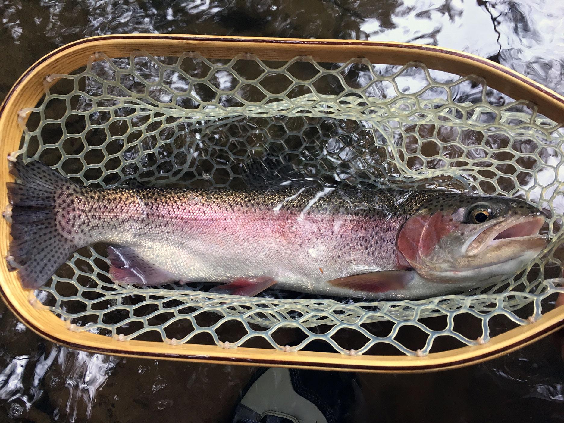 A wild Kamloops Rainbow from Big Moores Run.